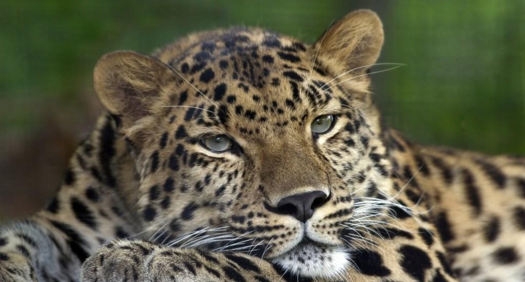 Amur Leopard Pittsburgh Zoo