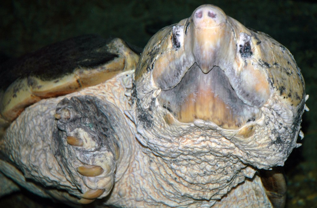 Macrochelys temminckii (alligator snapping turtle)  ()