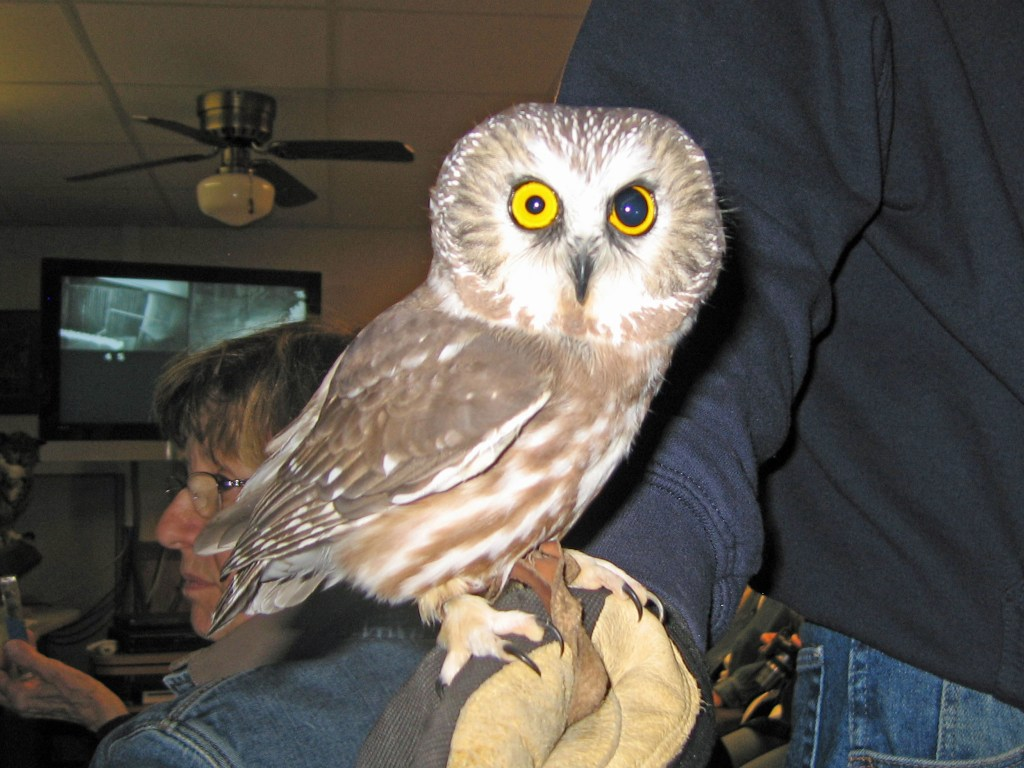 Northern Saw whet Owl Flickr GregTheBusker
