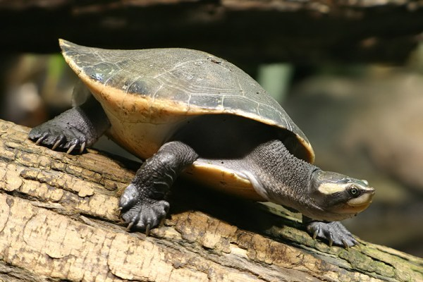 Pink Bellied Side Necked Turtle Fact Sheet