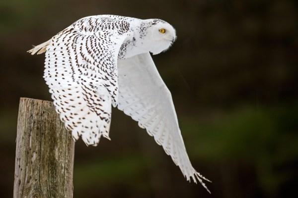 Snowy Owl Fact Sheet
