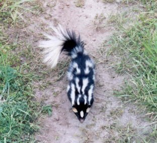 sri spotted skunk[]