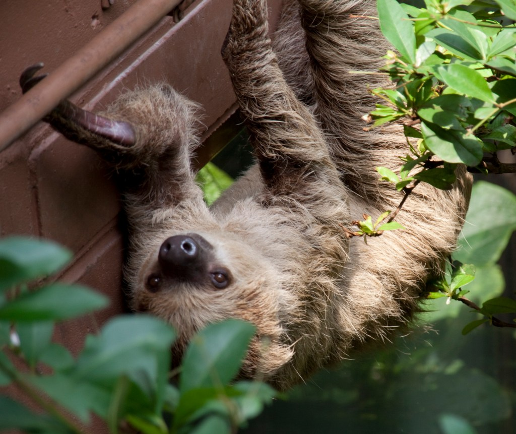 Two toed Sloth  ()