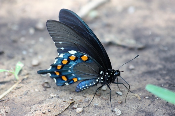 pipevine swallowtail butterfly