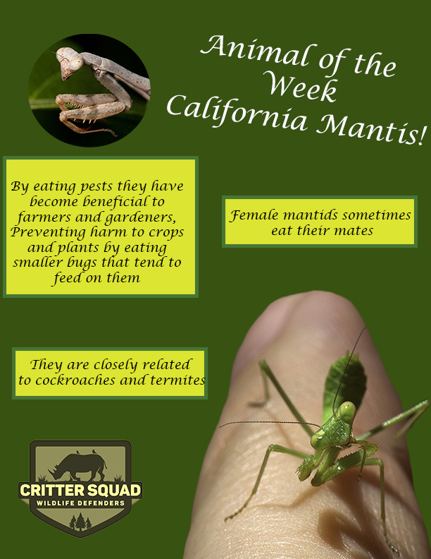 California mantis animal of the week