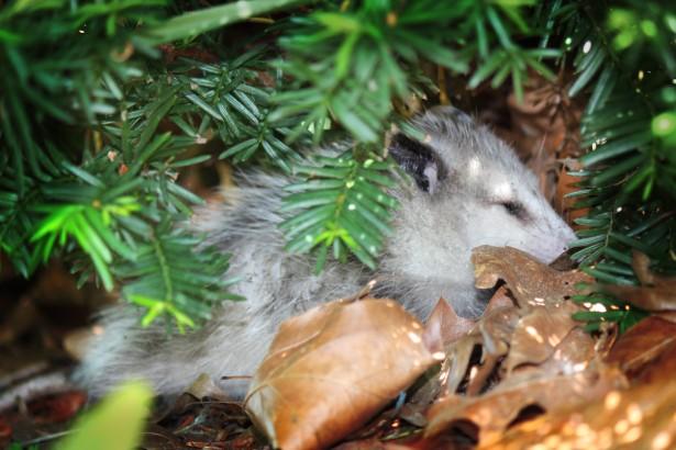possum in a bush