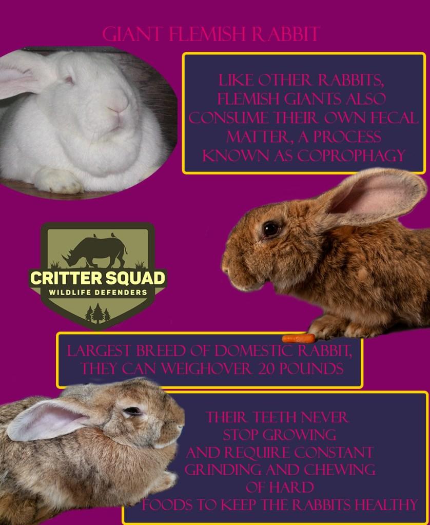 animal of the week giant flemish rabbit