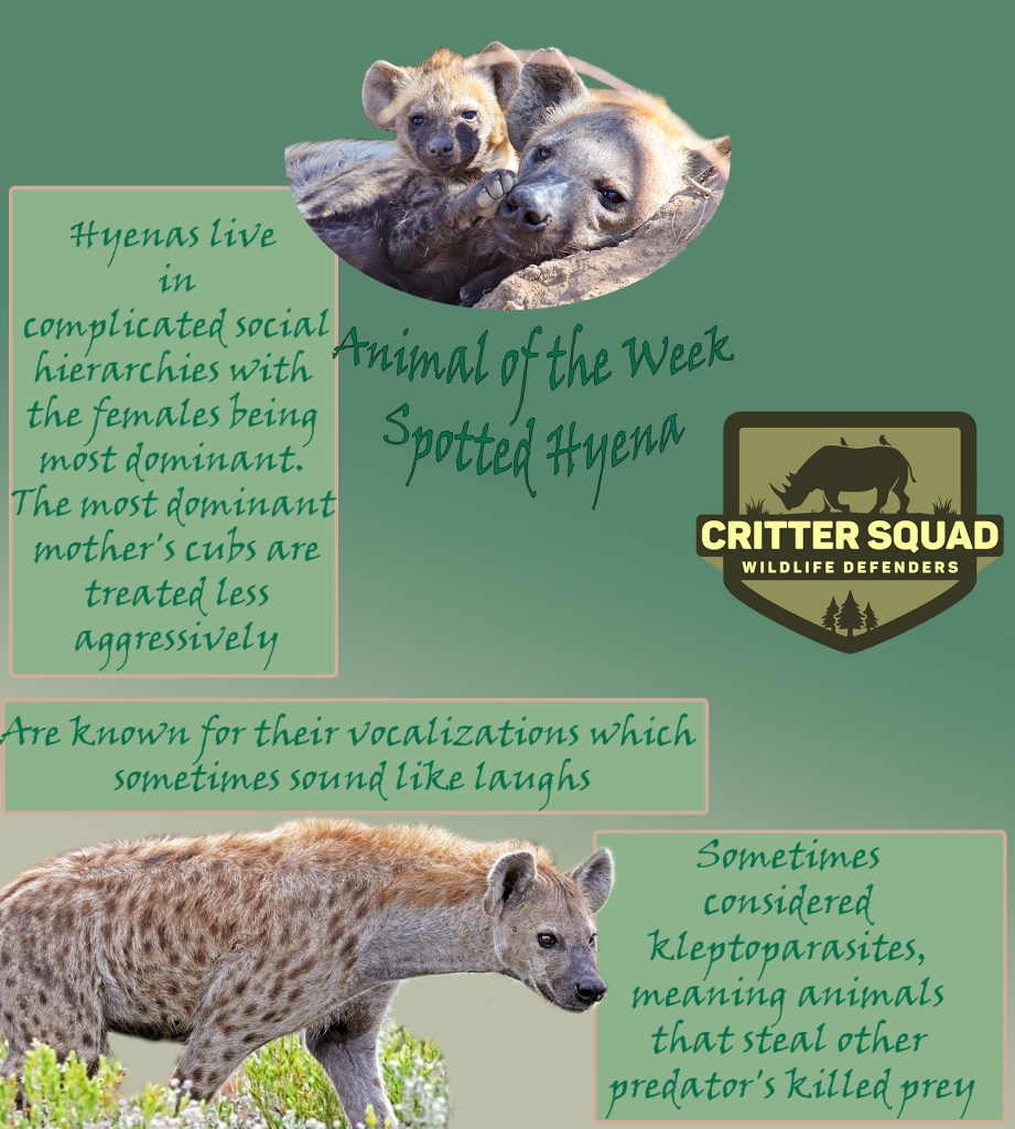 Animal of the Week Spotted Hyena