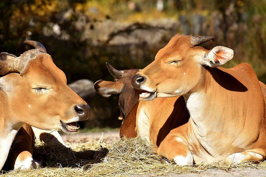 banteng beef bos javanicus wild