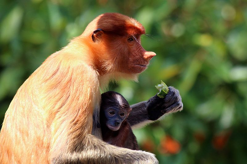 Proboscis monkey (Nasalis larvatus) female and baby