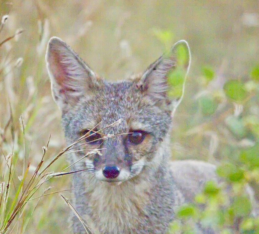 Indian Fox  at Rajkot