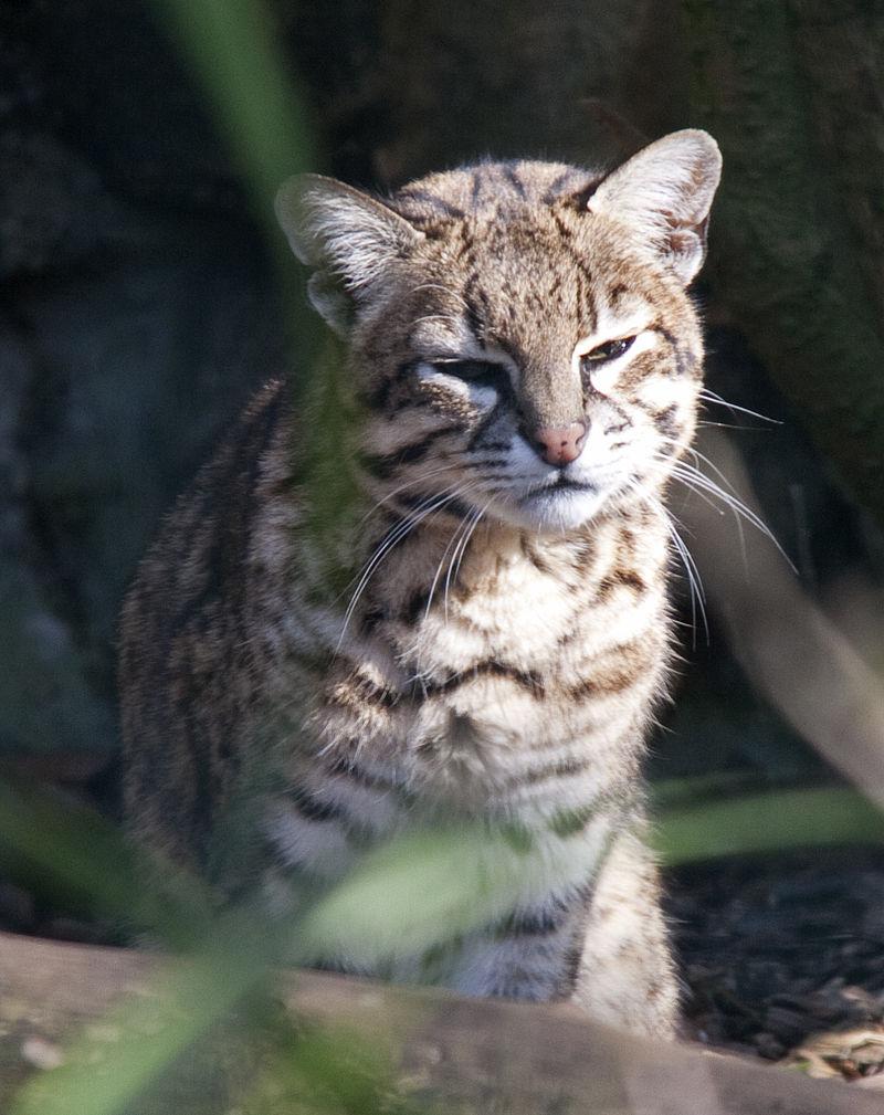 px Leopardus geoffroyi Dudley Zoo, West Midlands, England a ()