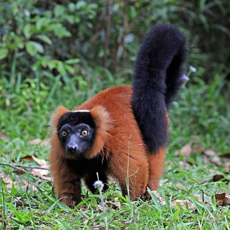 px Red ruffed lemur (Varecia rubra)