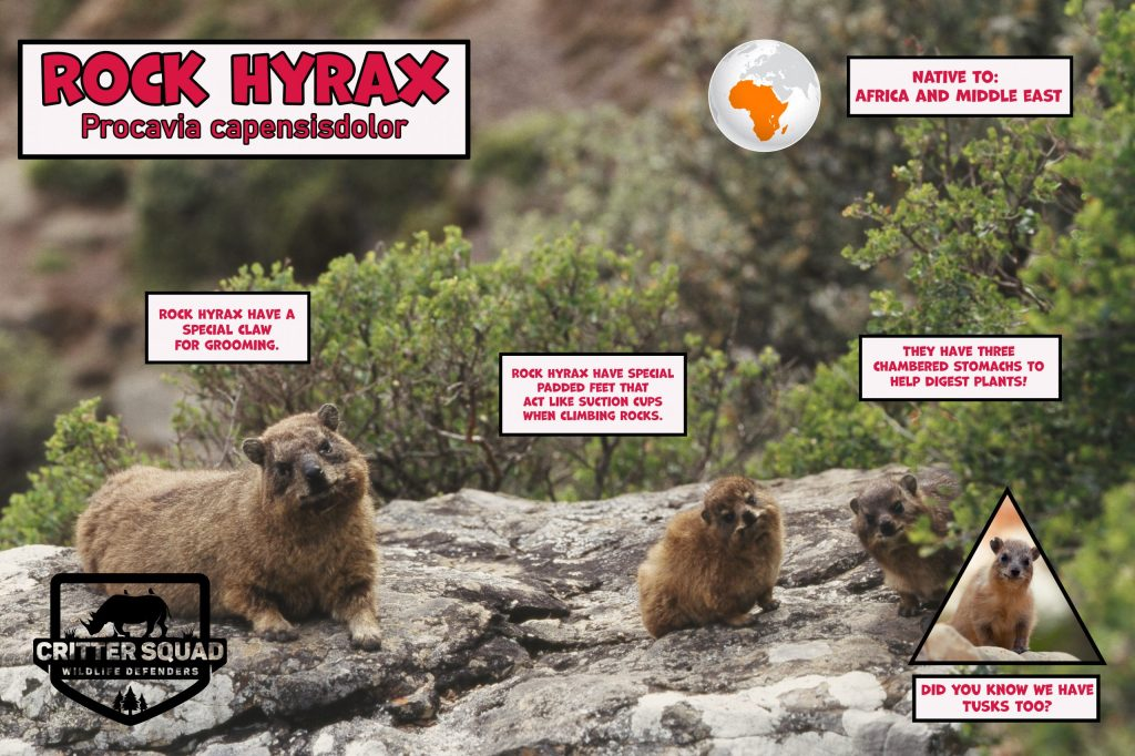 South Africa, Cape of Good Hope, Rock Hyrax (Procavia Capensis)o