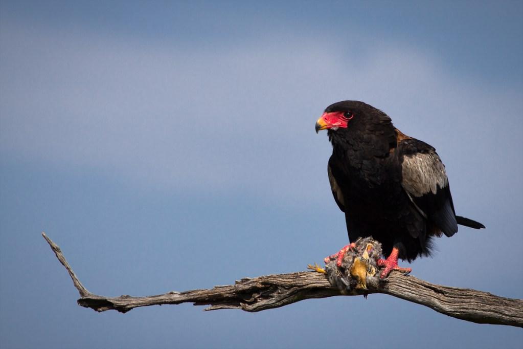 Bateleur Eagle with Kill ()