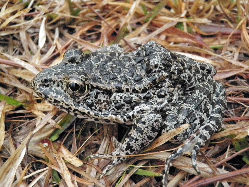 Dusky Gopher Frog a ()