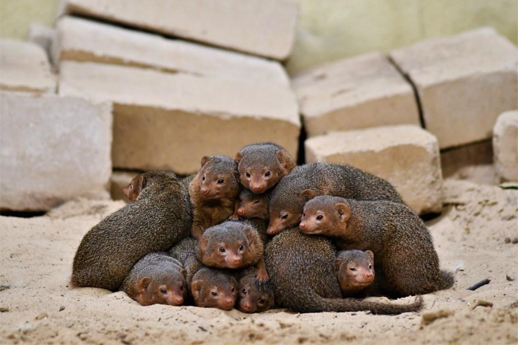 dwarf mongooses   ()
