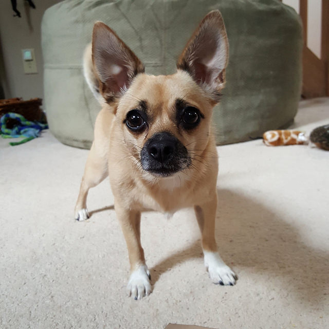crochetbug, chihuahua, fetch