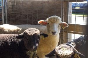 Fiber Festival Sheep
