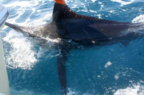 Marlin Fishing Costa Rica