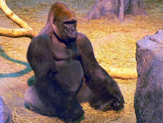 Gorille Mumba au zoo de Granby