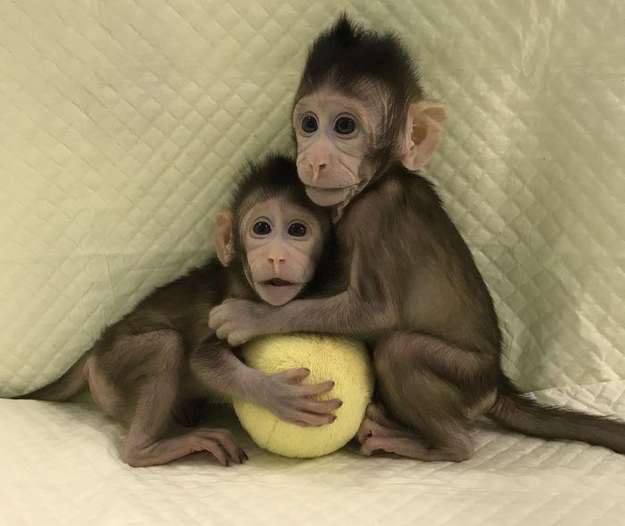 Scimmie clonate con la tecnica della pecora Dolly: finora ogni tentativo era fallito