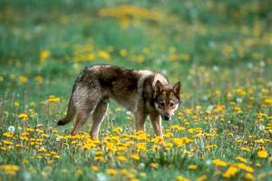 """Bari, tornano i lupi. La denuncia della Coldiretti: """"Sbloccare legge regionale contro danni a fauna selvatica"""". Sbranati vitelli e pecore"""