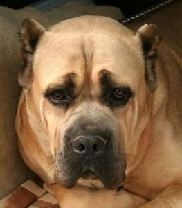 Ossona, chi ha perso un cane di grossa taglia?