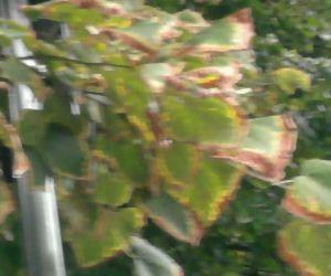 Ossona, a scuola gli alberi si sono bruciati l'autunno: brucia anche all'amministrazione?
