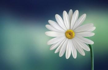 marguerite-daisy-beautiful-beauty Cronaca Ossona sarà in parte a pagamento Economia Prima Pagina