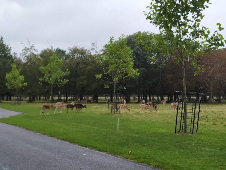 Ciervos en libertad en Phoenix Park Dublín.