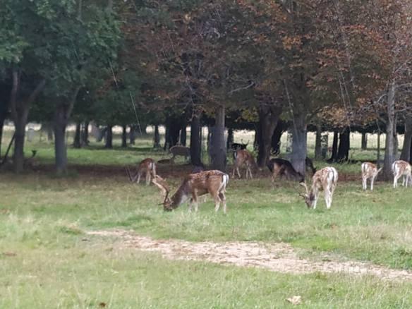 Phoenix Park Dublín, ciervos.