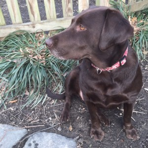 Coco is a one year old chocolate lab who was recently adopted into a loving home. Coco loves to cuddle with her owners. She loves meeting new people and the attention that they give her. Photo courtesy of freshmen Greta Engel.