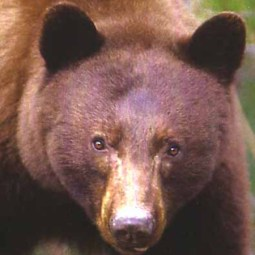 Once I looked directly into a bear's eyes in the wild--that image of focused attention is forever burned into my psyche.