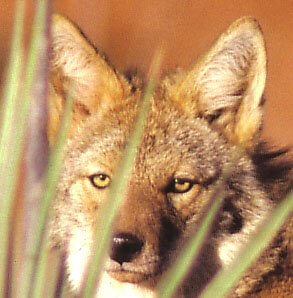 When coyote crosses your path, or even more potently, looks you in the eye, you know things are going to change in unexpected ways.