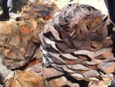 Roasted agave hearts by Sandra Cosentino