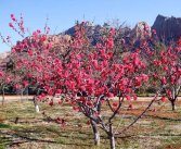 orchardbloom2