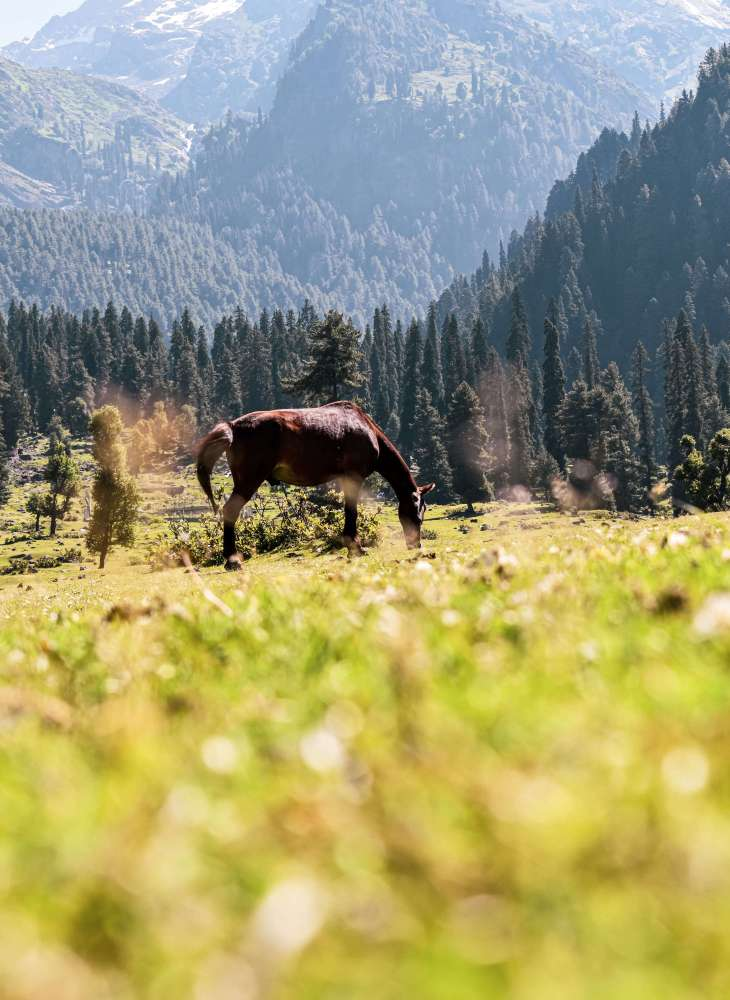 You will see a lot of horses during trekking in kashmir