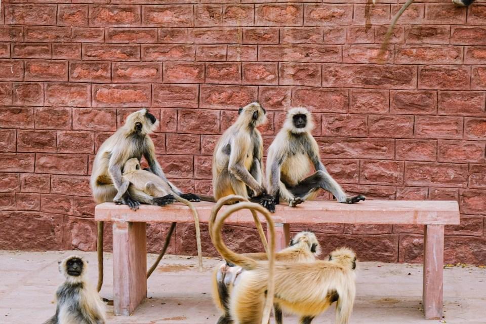 Monkeys are spread all across the Mandore Garden