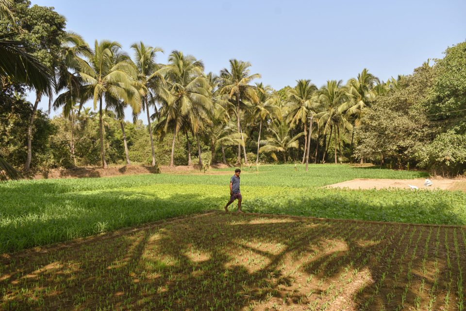 Goa Local working in his field