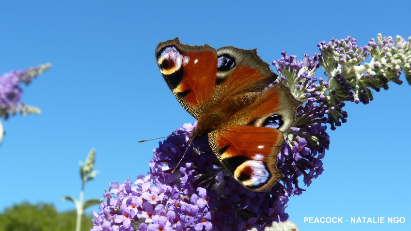 Why are our butterflies disappearing?