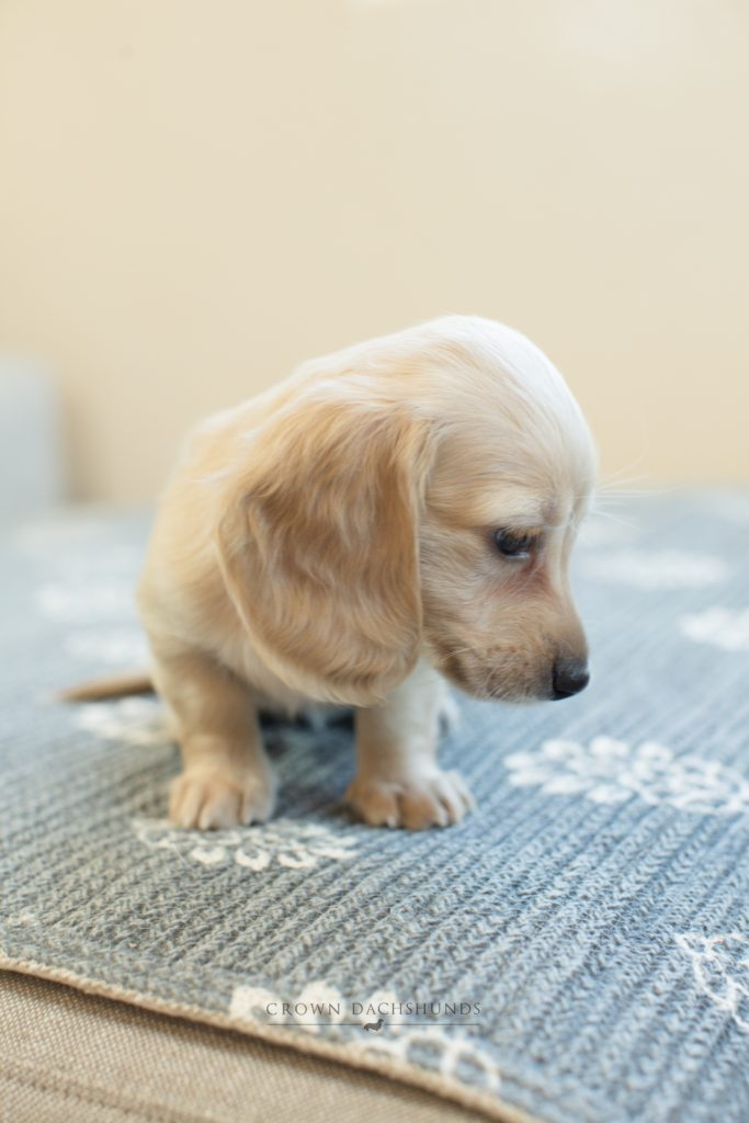 Puppies Crown Dachshunds