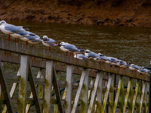 Seagulls on the Tamar!!
