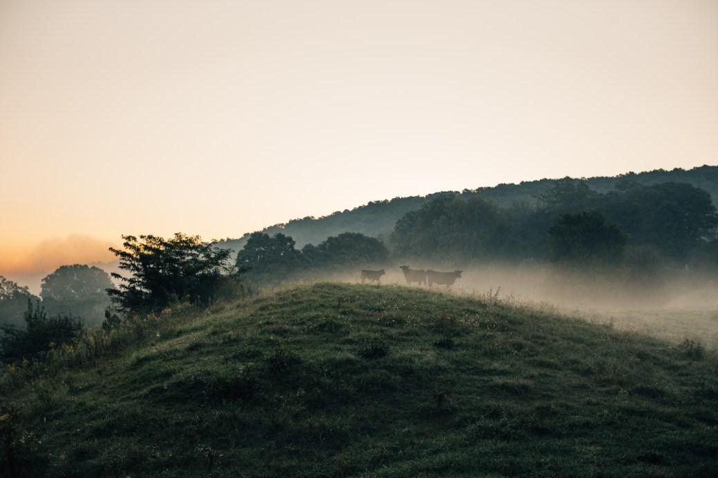 Cows Free Roaming on Hillside