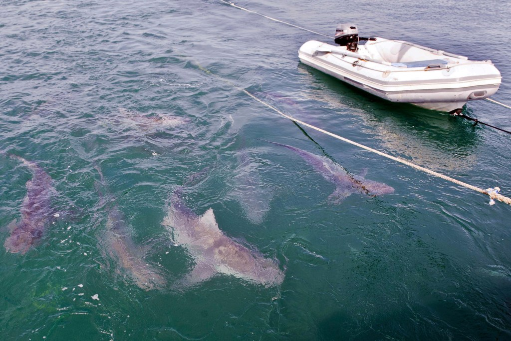 9 Bramble Cay Black Whaler sharks feeding on the frames