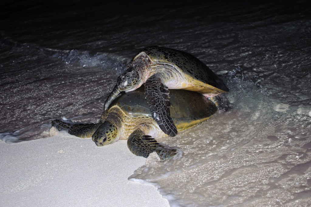 Females sometimes swim to the beach for a rest, especialy when groups of males are fighting for mating rights .
