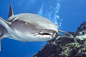 Tawny shark