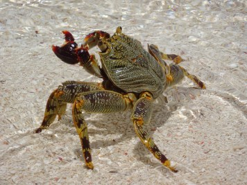 Pale-lined rock crab