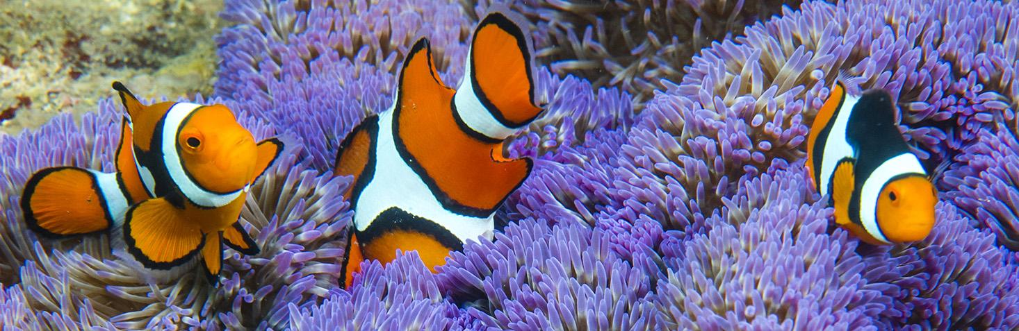 clown fish by Sylvie Jambu