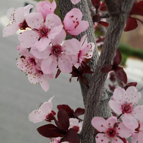 The beautiful pink of spring flowers